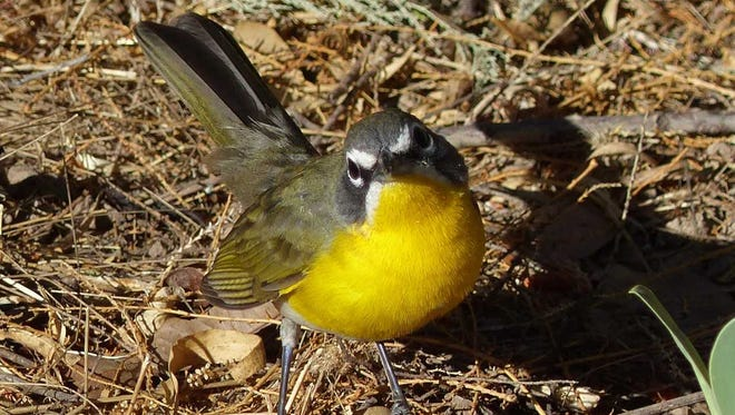 A yellow-breasted chat leaves cover to forage for insects.