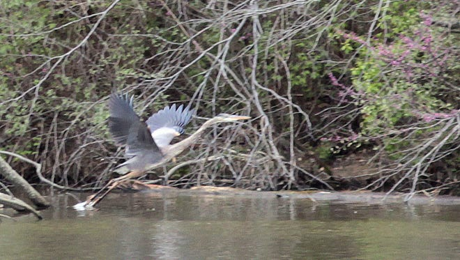 A Great Blue Heron takes flight from the lake at Miami Whitewater Forest in western Hamilton County.  Great Parks of Hamilton County is expected to expand the park by 273 acres purchasing adjacent properties.  The Enquirer/Patrick Reddy