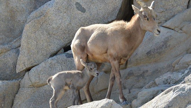 A bighorn sheep lamb was born Feb. 18 at The Living Desert in Palm Desert.