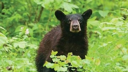 Black bears are found in the Lincoln National Forest's Smokey Ranger and Sacramento districts.
