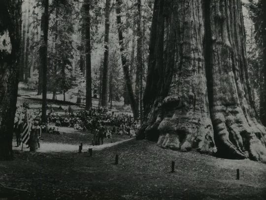 One of 12 groves of Sequoia Gigantea in Sequoia National