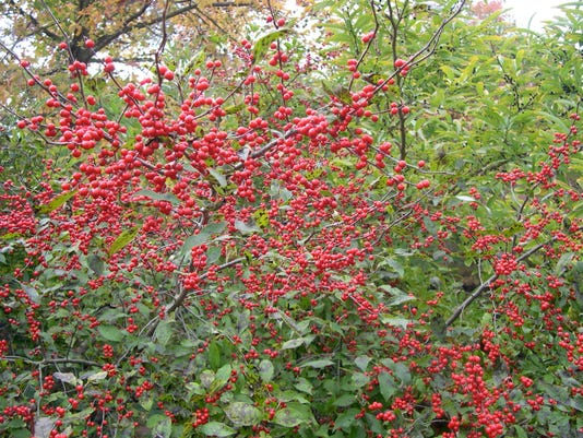 635761178592005575-winterberry-holly
