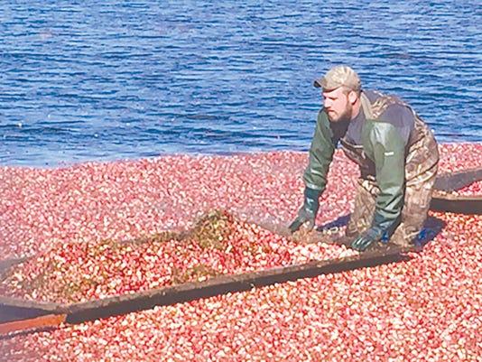 Skimming cranberries