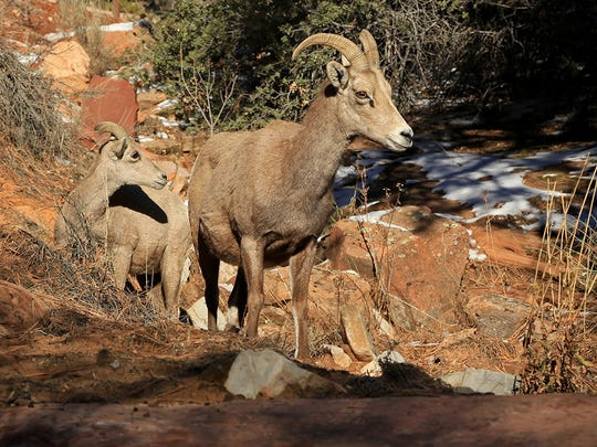 Bighorn sheep along state Route 9 on the east side of Zion National Park.
