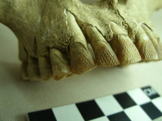 Incised teeth belonged to a Latte Period man, who died between the ages of 30 and 40.