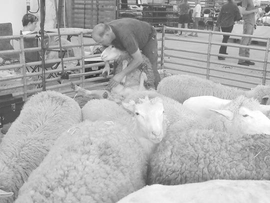 Sheep shearing was one of several demonstrations held
