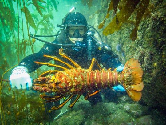 California spiny lobster.