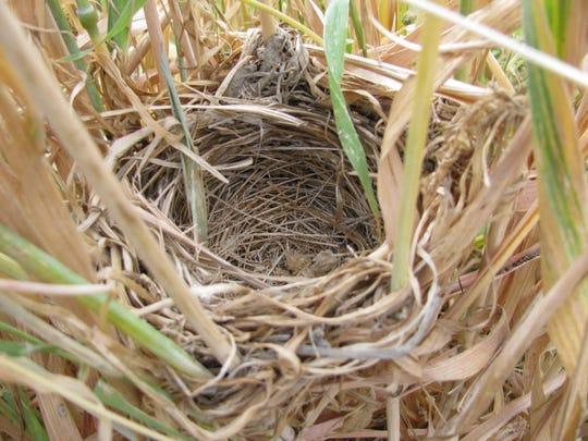 A tricolored blackbird nest found in a grain field in Tipton.