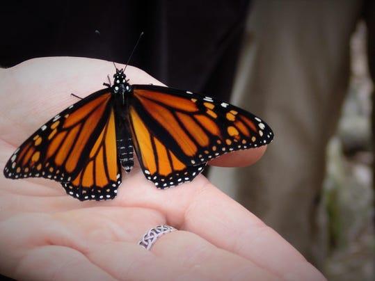 dcn 0824 ridges monarch butterfly