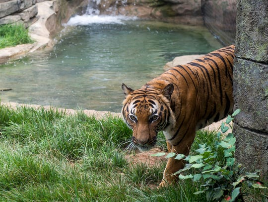 Zoo Knoxville tigers have a pool in their enclosure