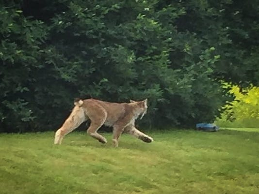 636125785243758297-Londonderry-Lynx-Photo.jpg