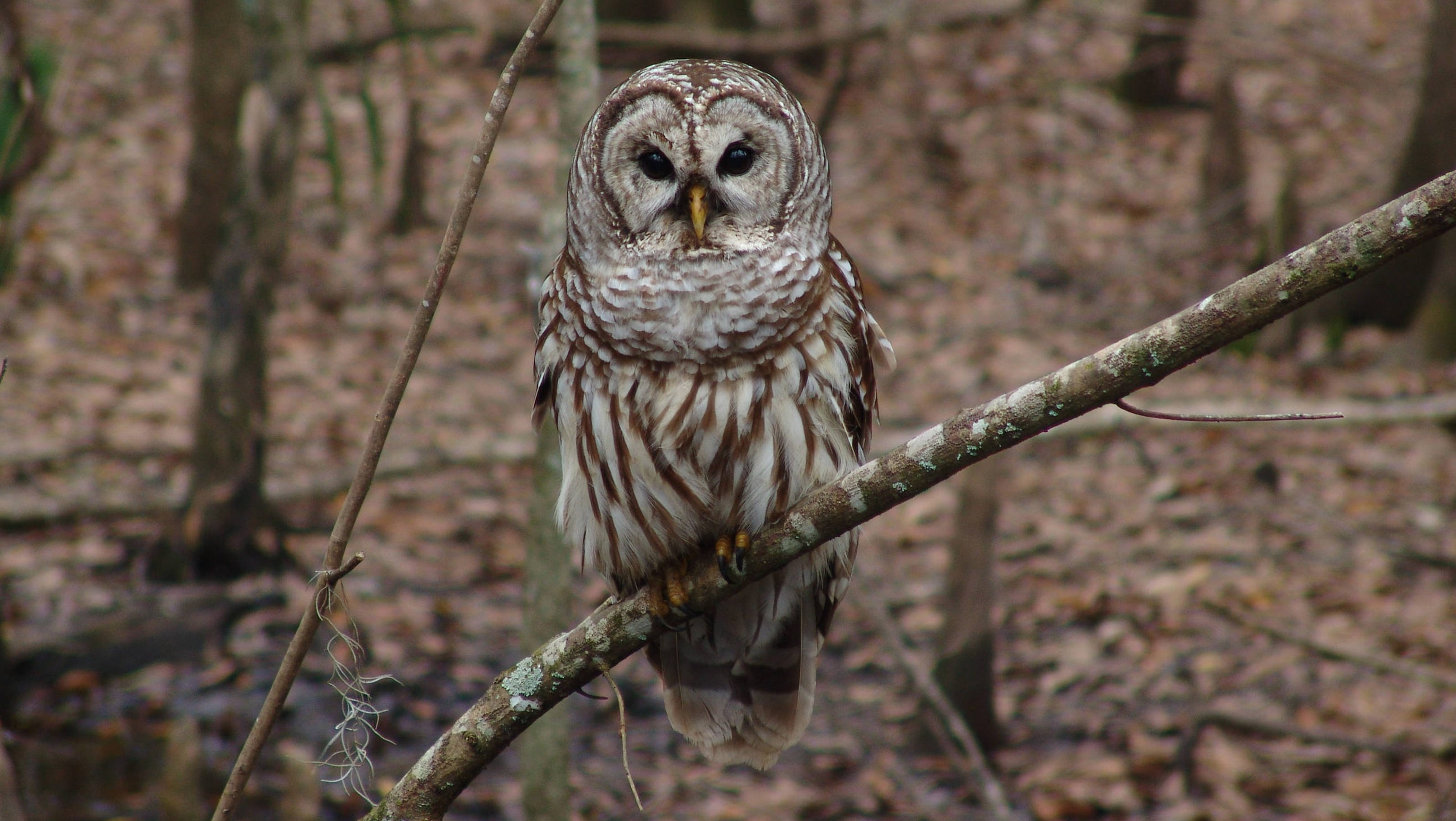 a barred owl vs the history The introduction article is just the first of 11 articles in each species account that provide life history information for the species  barred owl home range and .