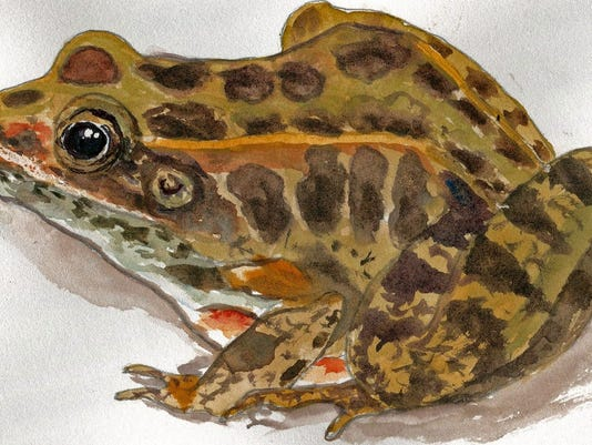 pickerelfrogfornaturejournal.jpg