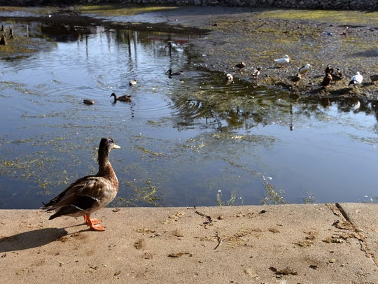 A duck walks along the side walk at the partially drained