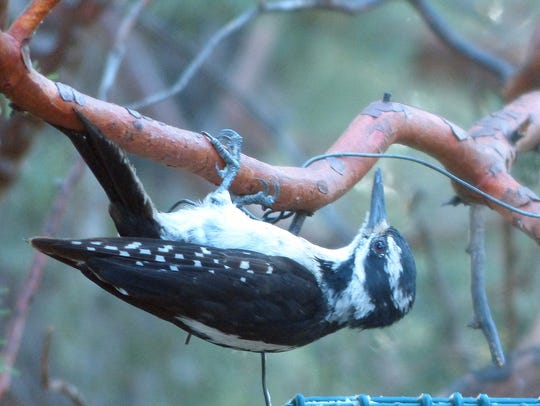A woodpecker literally hangs out near a feeder.