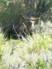 This photo, taken by Nevada Game Warden Nick Brunson, shows a young bull moose near Spring Creek in Eastern Nevada. Moose are relatively rare sightings in the high desert.