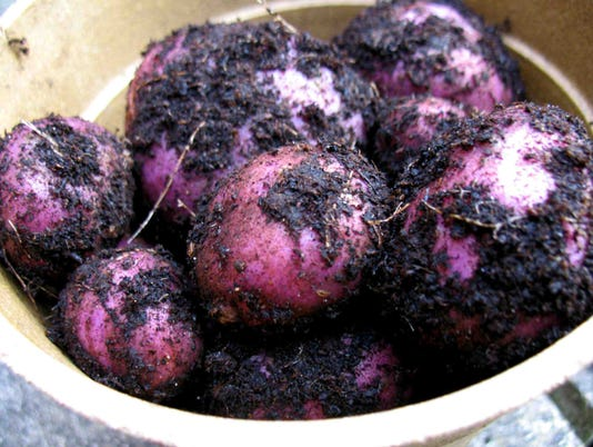 WSF 0511 Garden potatoes