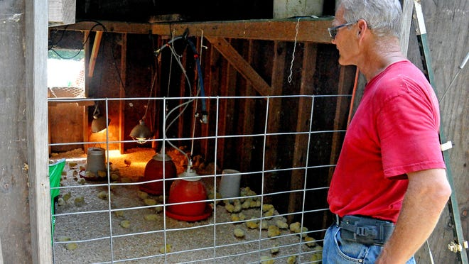Ken Resser looks at a new batch of chicks delivered to the farm that day.  They will be raised and butchered for customers.