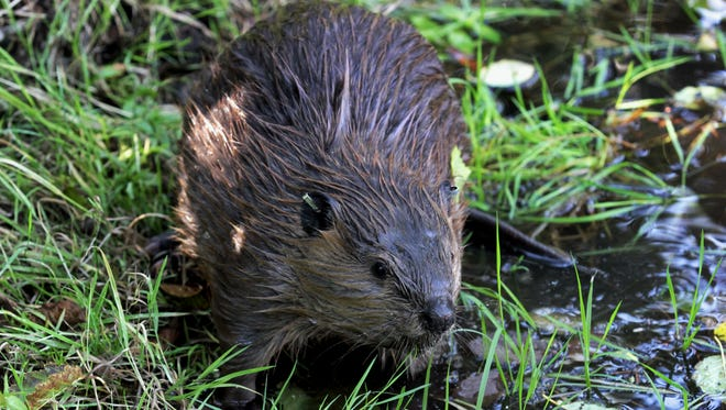 In this Sept. 12, 2014, photo, a tagged young beaver explores water hole near Ellensburg, Wash.