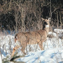 Bow hunting, contraceptives considered as ways to cut Delafield deer population in half