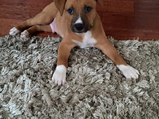 Camden, a boxer mix, is available for adoption through Rescued Treasures.