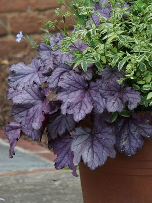 """This Forever Purple container is planted with Forever Purple alumroot (Heuchera """"Forever Purple"""") and Stairway to Heaven Jacob's ladder (Polemonium reptans """"Stairway to Heaven"""")."""