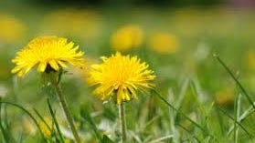 In Kentucky, we have several spring germinating weeds that are fairly easy to identify. Dandelion, henbit, chickweed and purple deadnettle are some of the most common early weeds.