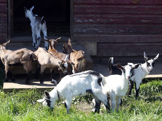 Eight-day-old quintuplets and three other baby goats explore at Fairview Farm Dairy in Dallas.