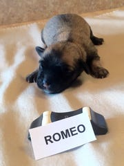 Romeo, shown here at just 4 days old, should be ready for adoption around Valentine's Day.