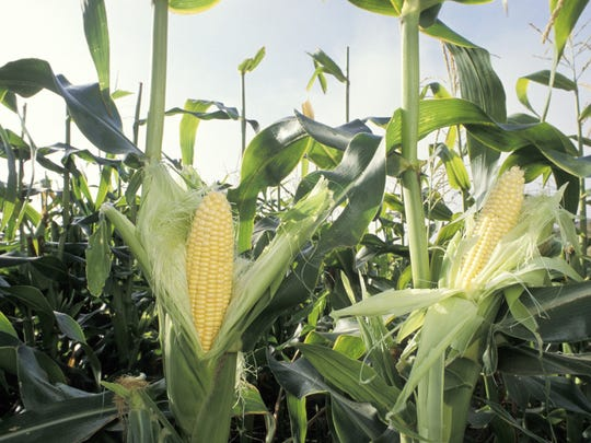 Pick sweet corn at Batey Farms, 3250 Wilkinson Pike, just off Medical Center Parkway in Murfreesboro.