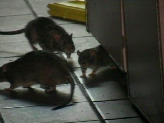 Restaurant Rats