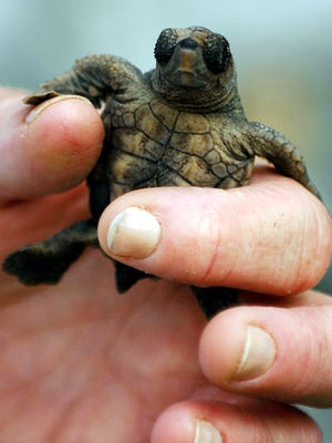 Gulf Islands National Seashore biologists are changing how they monitor sea turtle nests to reduce hatchlings' contact with humans