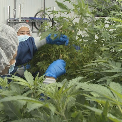 Touring Med-Releaf, a  medical marijuana grow operation