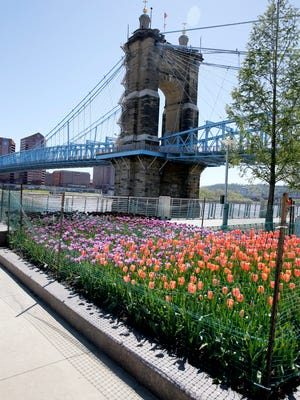 Tulips in the Memory Garden bed at Smale Riverfront Park are in full bloom Monday, April 30, 2018.  Park florists – who are horticulturalists – saw the tulip bulbs in the Memory Garden bed were threatened by the rising water flood waters of the Ohio River in February. The bulbs couldn't be pulled up and replanted when the water receded.