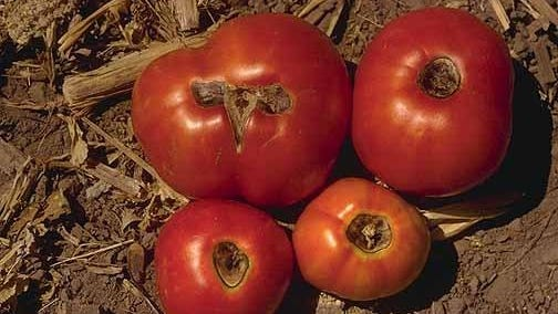 Large, gray-to-black spots on the blossom ends of both green and ripening tomatoes are known as blossom-end rot.