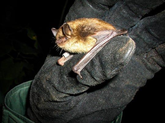 A small brown bat.