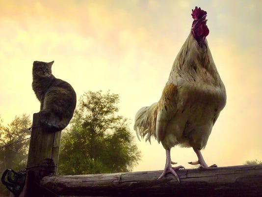 Cat Jo takes a rather dim view of our rooster's dawn song.