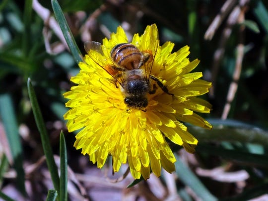 Lawn fanatics may consider the dandelion a weed, but this bee is enjoying all the good nutrients it has to offer.