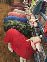 Lambs are bundled up before their turn in the ring