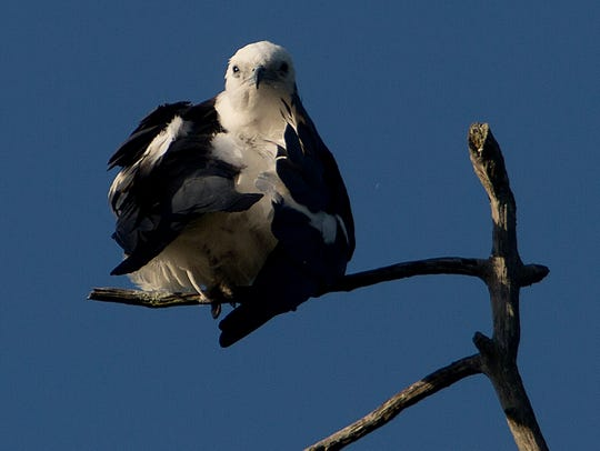 In a rare sighting, a swallow-tailed kite preens while