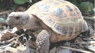 "Staff at Oshkosh's Menominee Park Zoo discovered Wednesday that a Russian tortoise had gone missing. The above photo is ""not the actual tortoise but should appear similar,"" according to the Oshkosh Police Department."