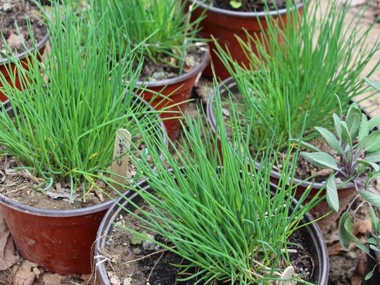 IMG_1140_Chives3_A.JPG