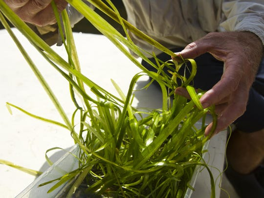 Rick Bartleson, a research scientist with the Sanibel Captiva Conservation Foundation, untangles some of the tape grass being used Thursday morning during a transplanting effort along the Caloosahatchee River near the Edison Bridge.