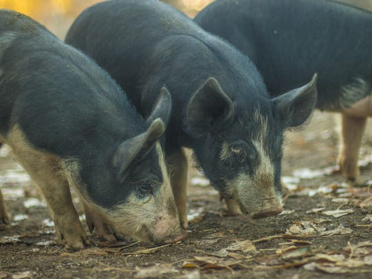 (Left): Registered Berkshire weaners — young pigs that have been weaned from their mothers — snuffle in their enclosure at Sanchez Ranch. The breed is known for its rich and juicy marbling. (Right): The partnership between Sanchez Ranch and Sierra Meat & Seafood calls for the ranch to initially supply the distributor with about 10 animals per month.
