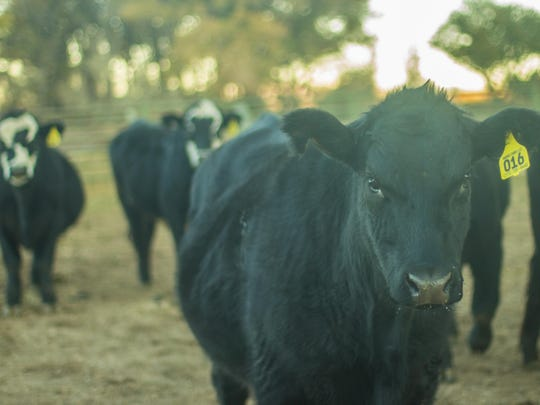 Sanchez Ranch of Smith Valley runs about 50 head of cattle, mainly Black Angus, at any one time.