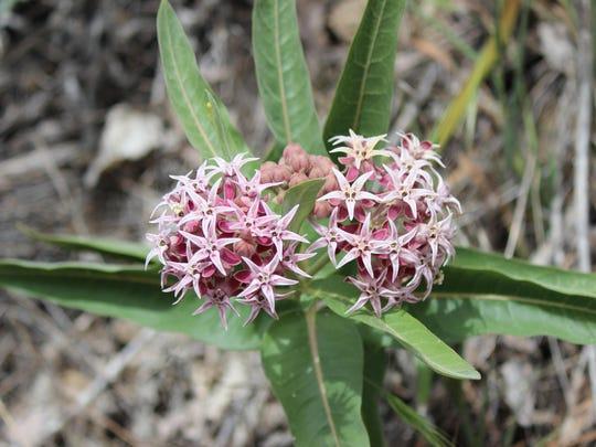 showy milkweed (1)