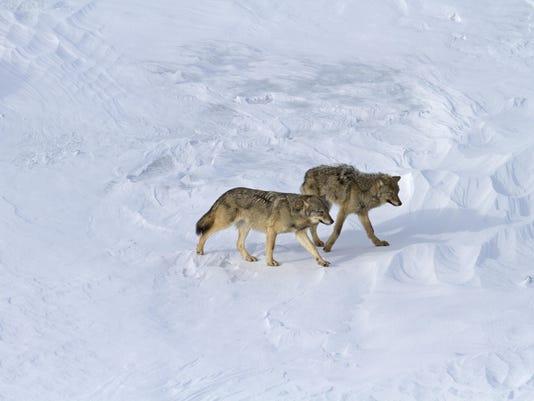 -Wolves_PupAdult.jpg_20150514.jpg