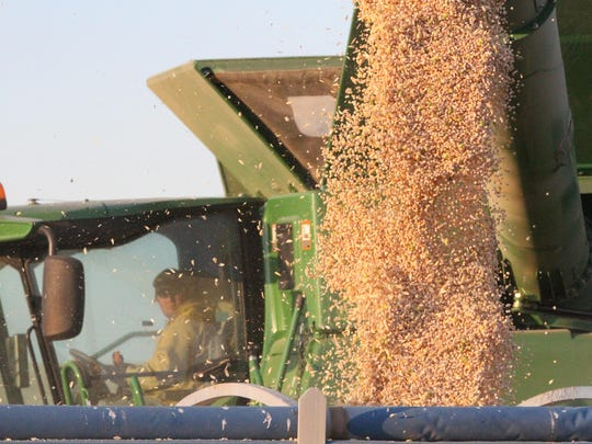 Farmer Scott Inbody watches chickpeas pour from a combine