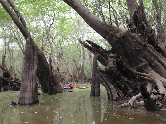 TOP: Evening on the Apalachicola River. ABOVE: Cypress knees in Sutton's Lake, Apalachicola River.