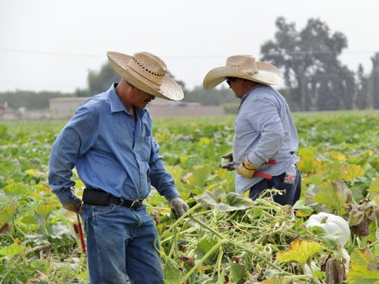 Vossler Farm employees harvest pumpkins on Wednesday to prepare for the corn maze and pumpkin patch grand opening on Oct. 1.